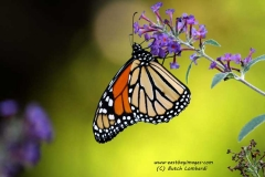 butterfly-IMG_5755-edited